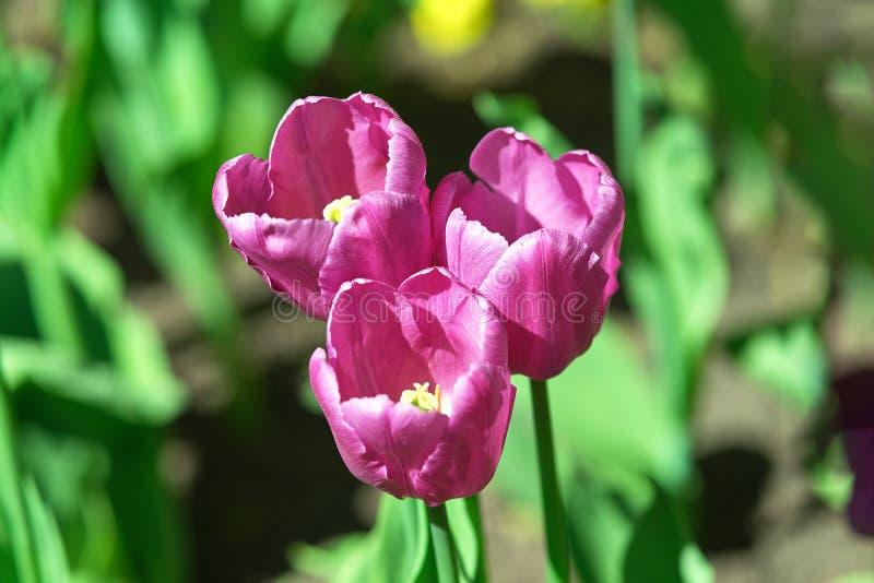 Tulipas lilás em um dia ensolarado em um fundo verde Vista de acima Variedade Bullit da tulipa fotografia de stock royalty free