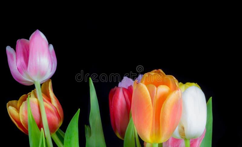 Tulipas multicoloridos bonitas no fundo preto 1 imagens de stock