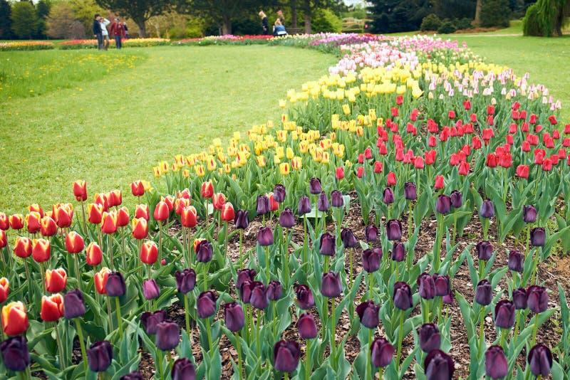 tulipas na flor fotografia de stock royalty free