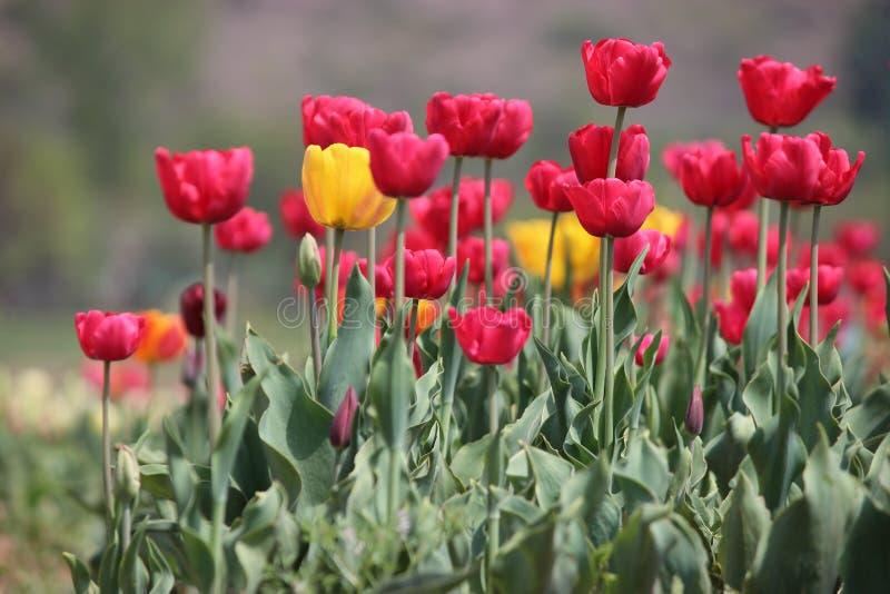 Tulipas na flor completa em Tulip Garden em Kashmir Tulipas vermelhas e amarelas com hastes fotos de stock royalty free