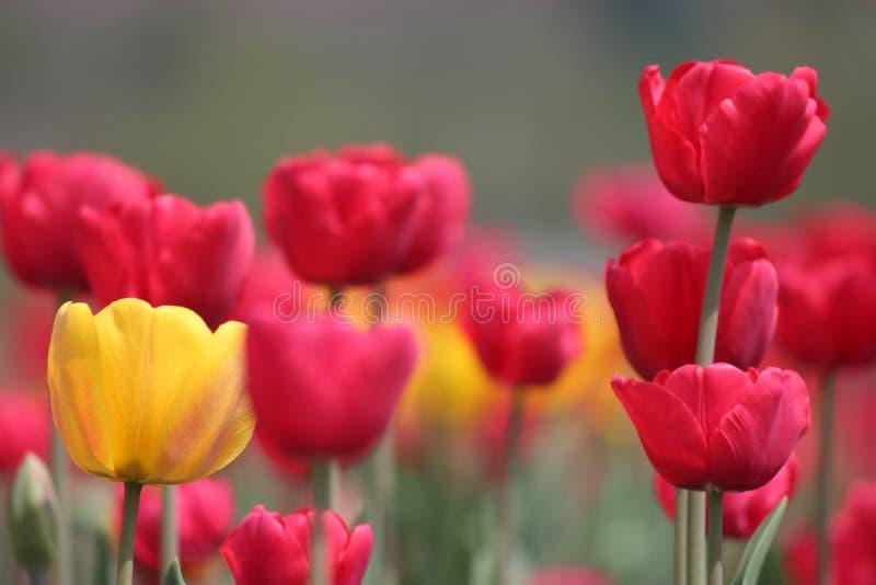 Tulipas na flor em Tulip Garden em Kashmir Tulips vermelhos e amarelos imagens de stock