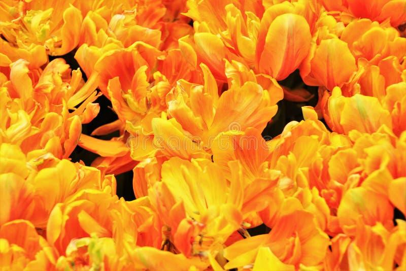 Tulipas na flor nos jardins pela baía Singapura imagens de stock royalty free