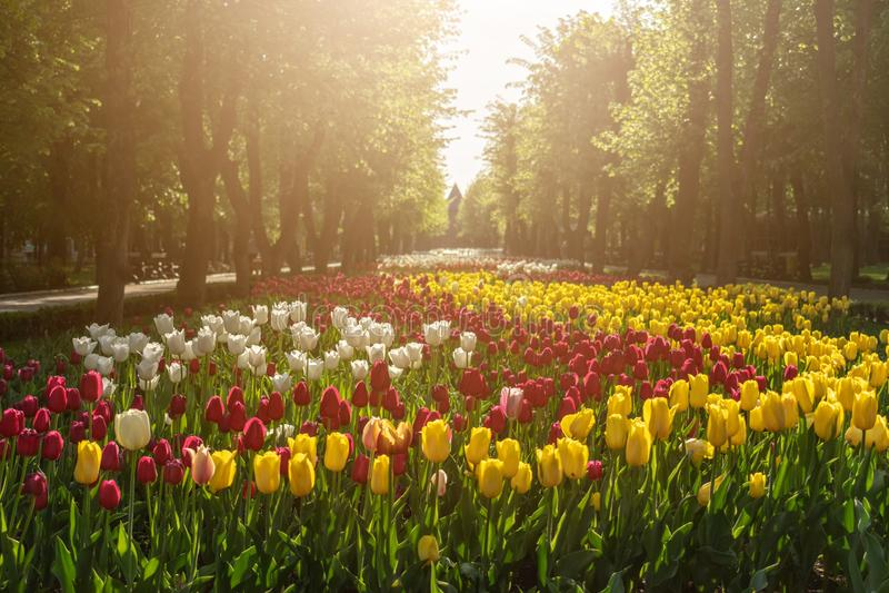 Tulipas no arranjo de flor brilhante com o parque da luz solar em público Tulipas coloridas no jardim, arboreto Cama de flor dent fotos de stock royalty free