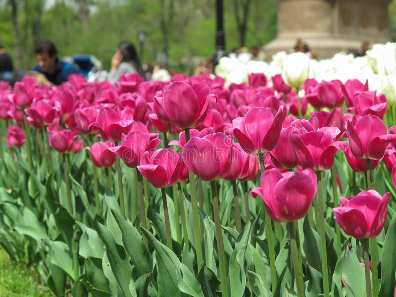 Tulipas no Central Park - NYC imagens de stock royalty free
