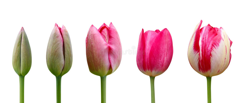 Tulipas no fundo branco Fim acima Fases da tulipa de florescência Do botão verde à flor cor-de-rosa luxúria foto de stock royalty free
