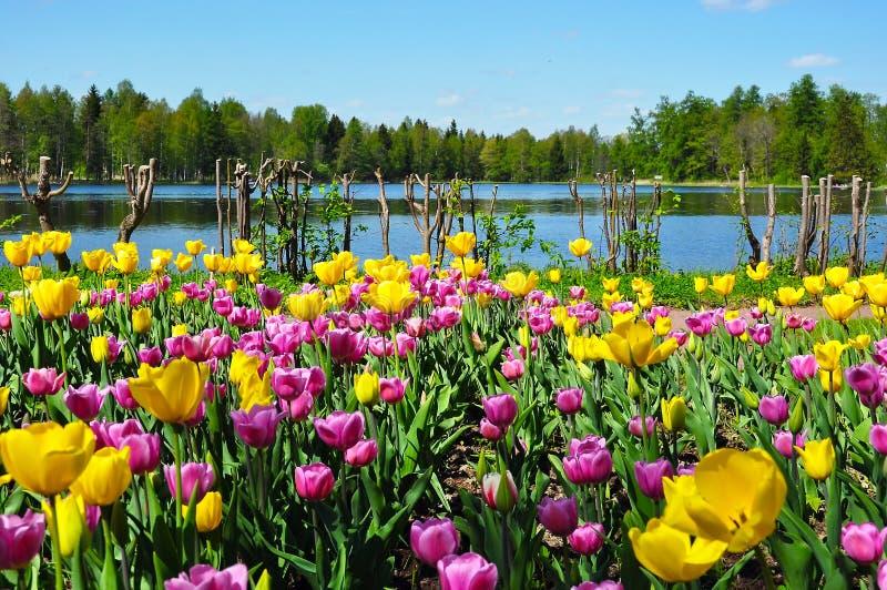 Tulipas no parque de Gatchina, Rússia foto de stock