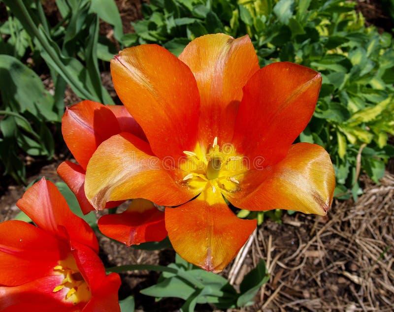 Tulipas que florescem na primavera imagem de stock royalty free