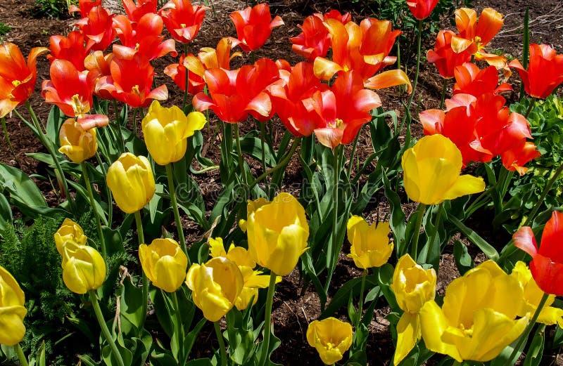 Tulipas que florescem na primavera imagens de stock royalty free