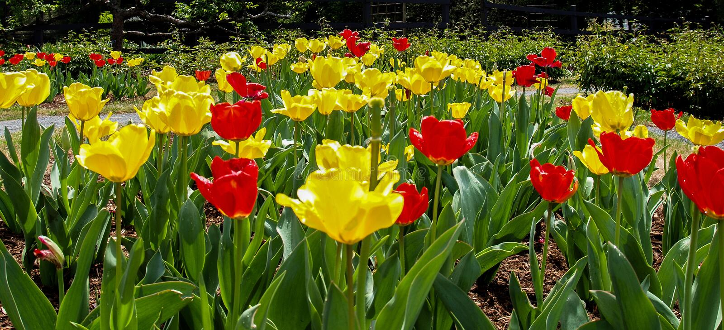 Tulipas que florescem na primavera foto de stock