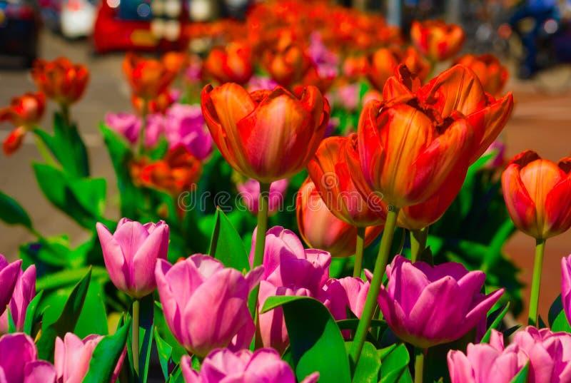 Tulipas que florescem no sol do verão fotografia de stock