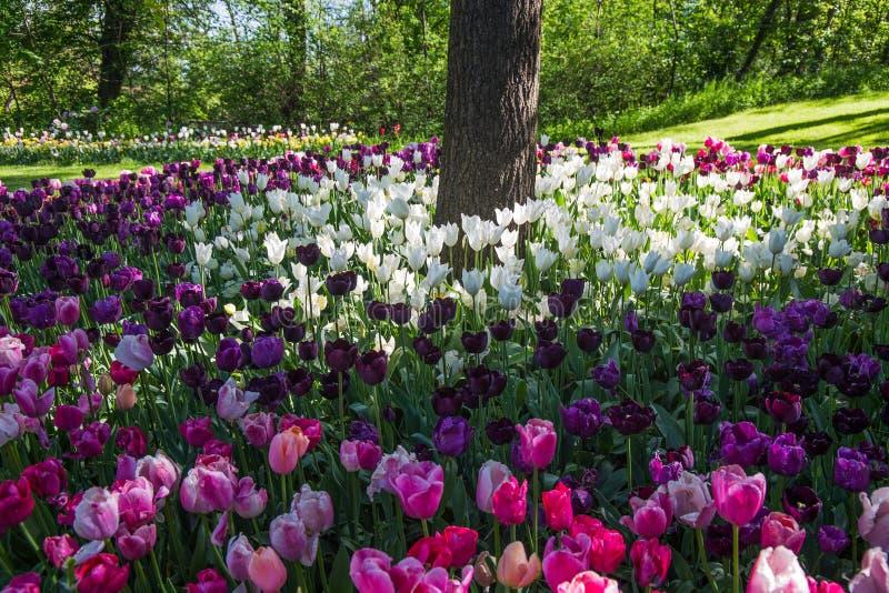 Tulipas Ramalhete bonito dos tulips Tulips coloridos tulipas na mola, tulipa colorida, campos das tulipas imagens de stock