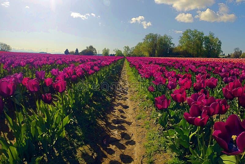 Tulipas roxas bonitas de Mount Vernon fotos de stock