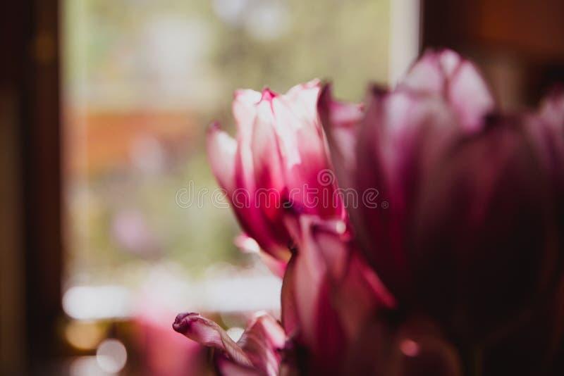 Tulipas roxas bonitas perto da janela r fotos de stock royalty free