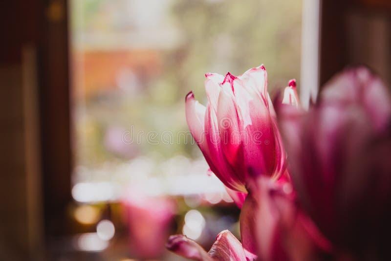 Tulipas roxas bonitas perto da janela r foto de stock