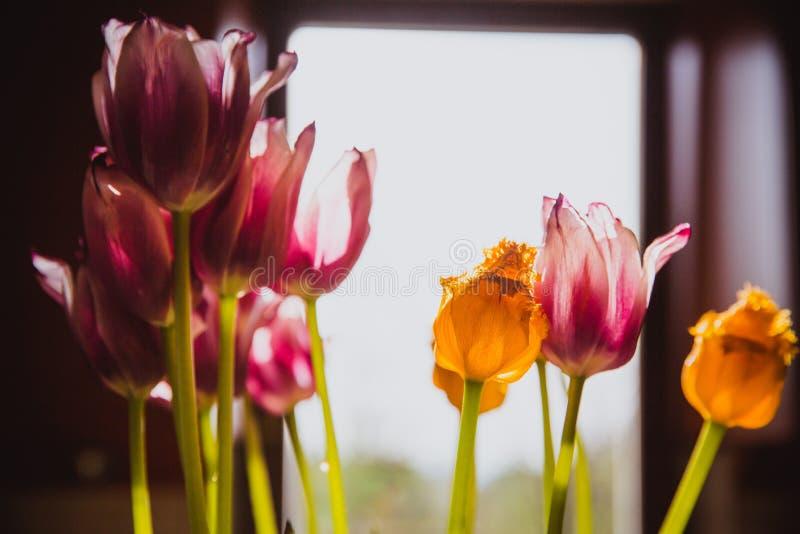 Tulipas roxas e amarelas bonitas perto da janela r imagens de stock royalty free