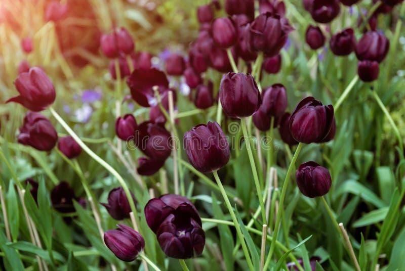 Tulipas roxas ou pretas escuras imagem de stock royalty free