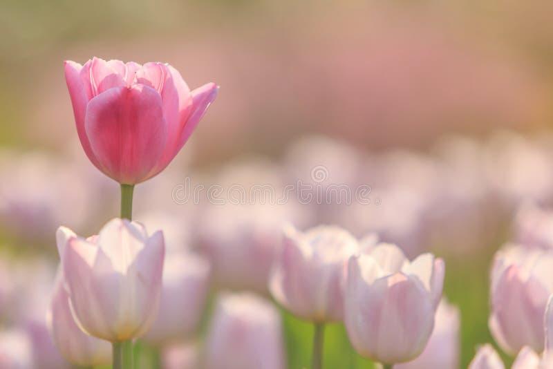 Tulipas solitárias do rosa e da alfazema fotos de stock