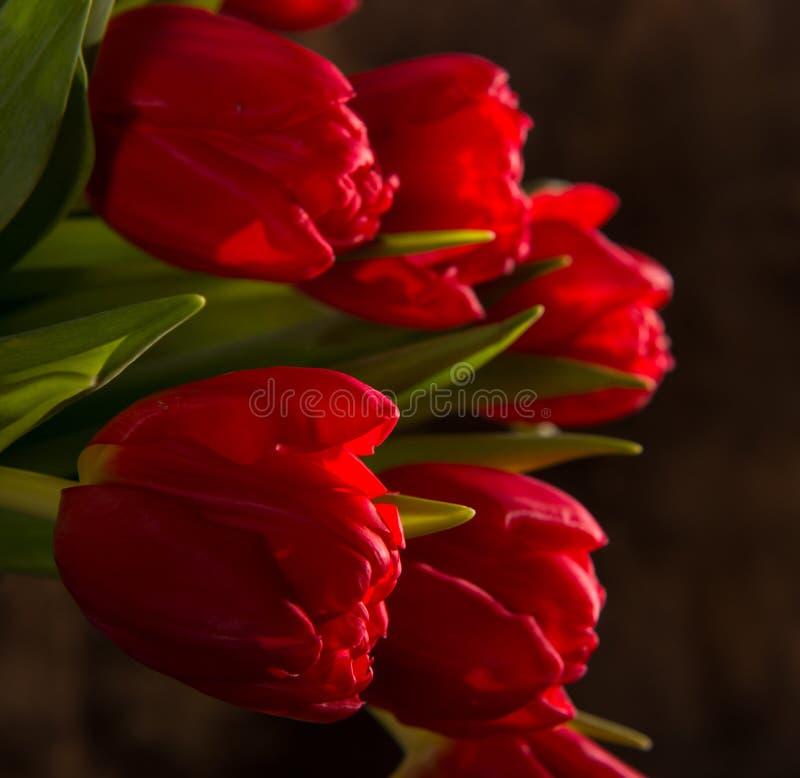 Tulipas vermelhas bonitas fotos de stock