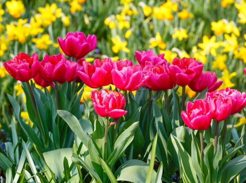 Tulipas vermelhas bonitas e narciso amarelo imagem de stock royalty free