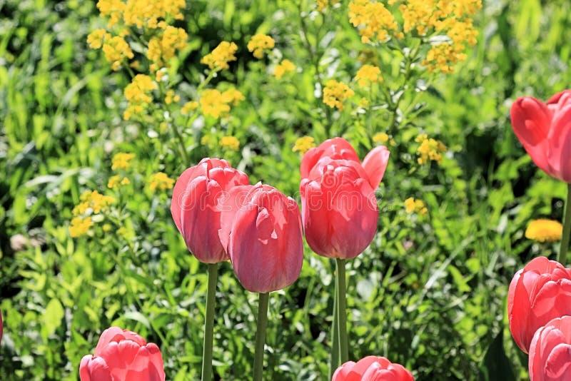 Tulipas vermelhas bonitas, flores amarelas modestas e grama verde em uma imagem da natureza harmoniosa da mola fotos de stock royalty free