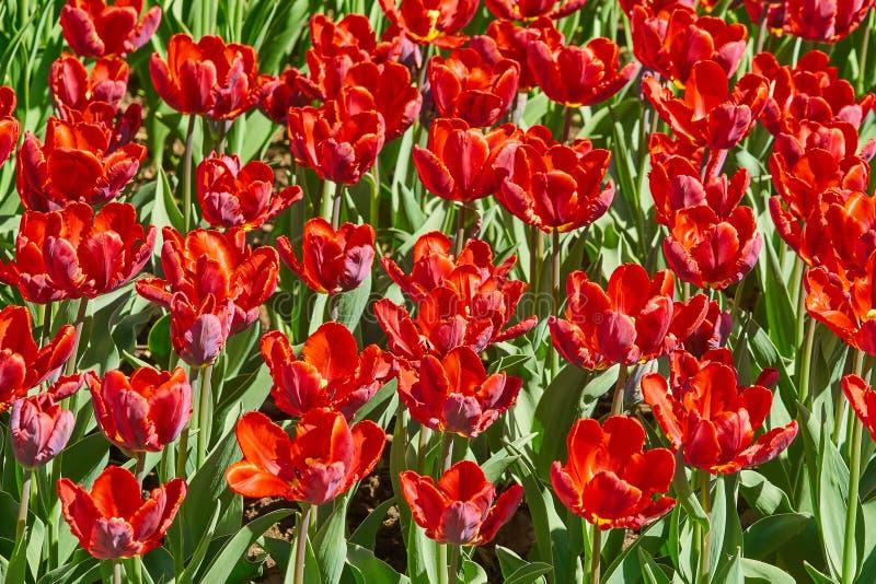 Tulipas vermelhas bonitas que florescem no jardim na mola Cen?rio brilhante da mola foto de stock royalty free
