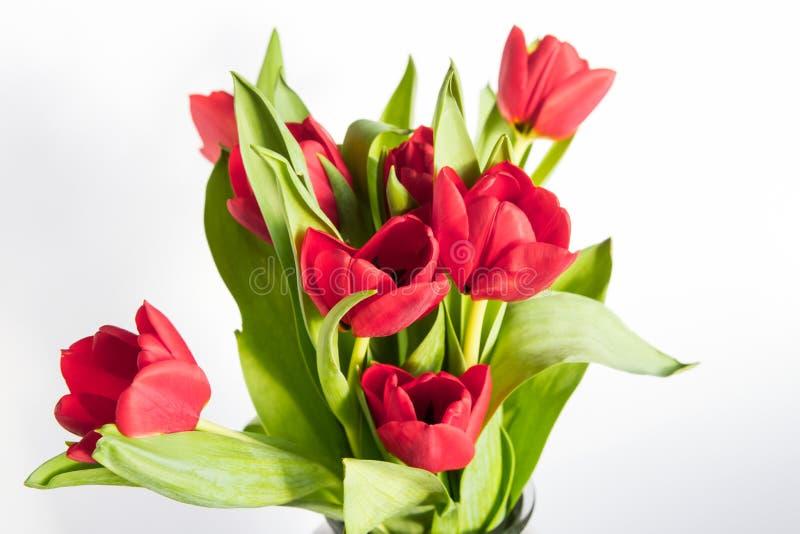Tulipas vermelhas bonitas sobre o branco imagens de stock royalty free