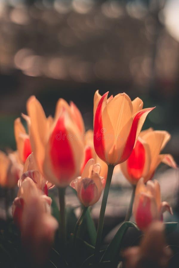 Tulipas vermelhas bonitas, Ucrânia fotografia de stock royalty free