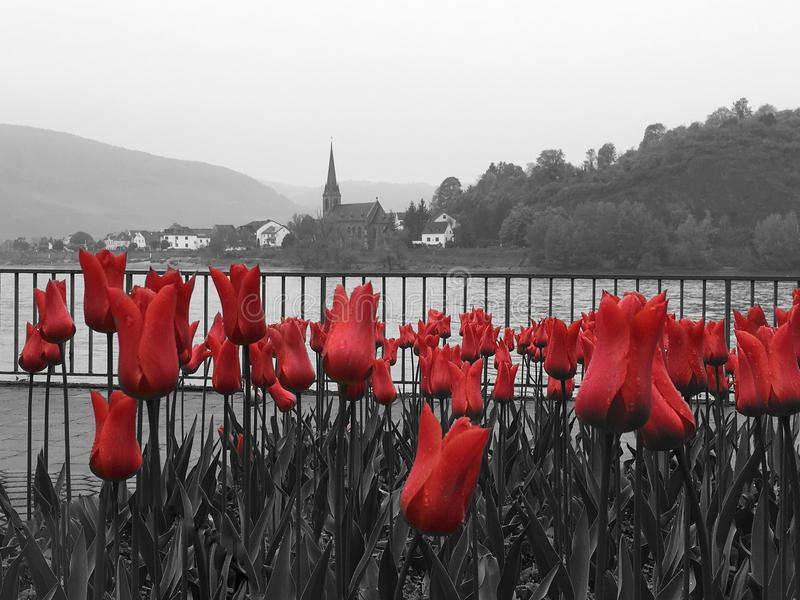 Tulipas vermelhas brilhantes ao longo do Rhine River em França fotografia de stock royalty free