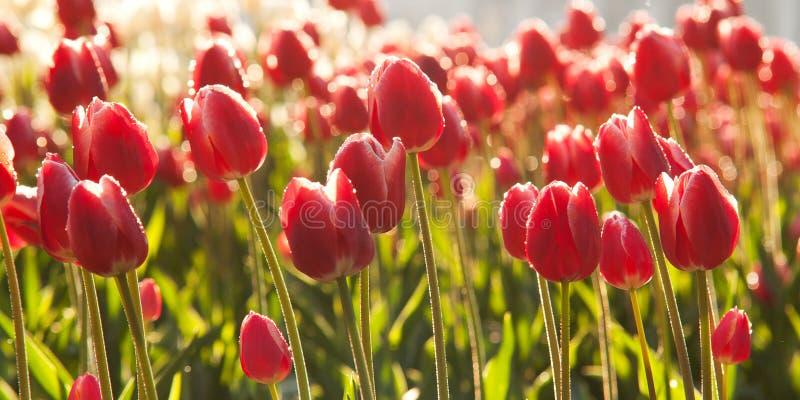 Tulipas vermelhas brilhantes que florescem em um gramado fotografia de stock