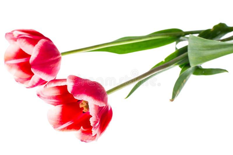 Tulipas vermelhas com beira branca fotos de stock royalty free
