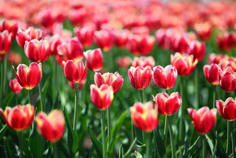 Tulipas vermelhas com beira branca - profundidade de campo rasa imagem de stock