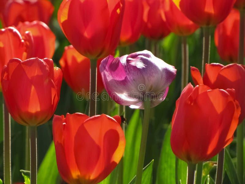 Tulipas vermelhas com a tulipa isolada do roxo e a branca fotos de stock