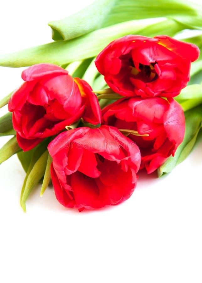 Download Tulipas Vermelhas No Branco Foto de Stock - Imagem de florescer, decoração: 29832520