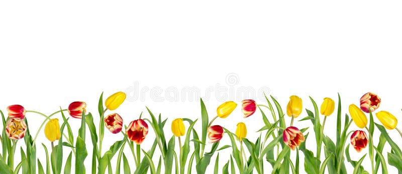 Tulipas vermelhas e amarelas bonitas em hastes longas com as folhas verdes arranjadas na fileira sem emenda Isolado no fundo bran ilustração stock