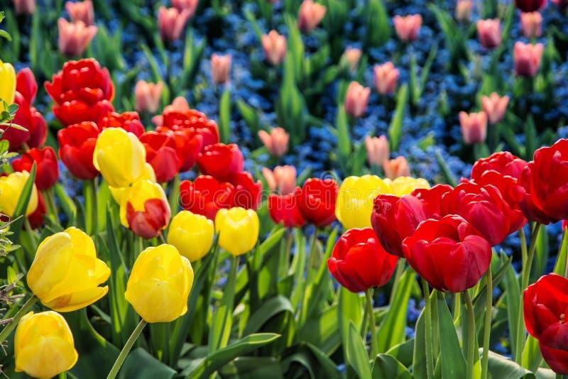 Tulipas vermelhas e amarelas e flores do miosótis plantadas no p fotos de stock