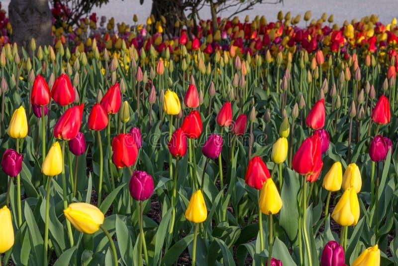 Tulipas vermelhas e roxas na plantação misturada colorida fotos de stock