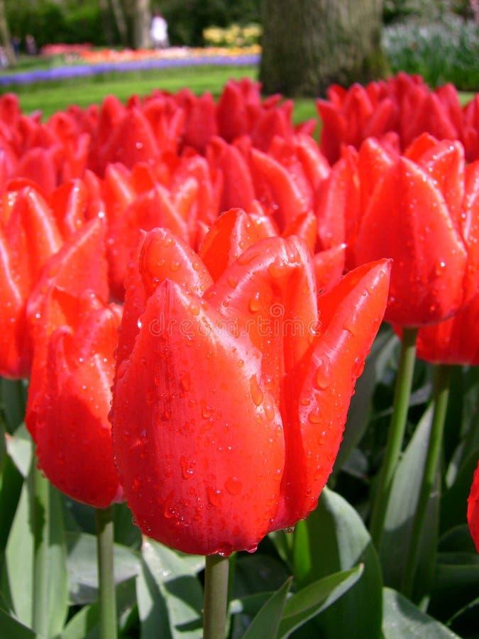 Tulipas vermelhas frescas fotografia de stock royalty free