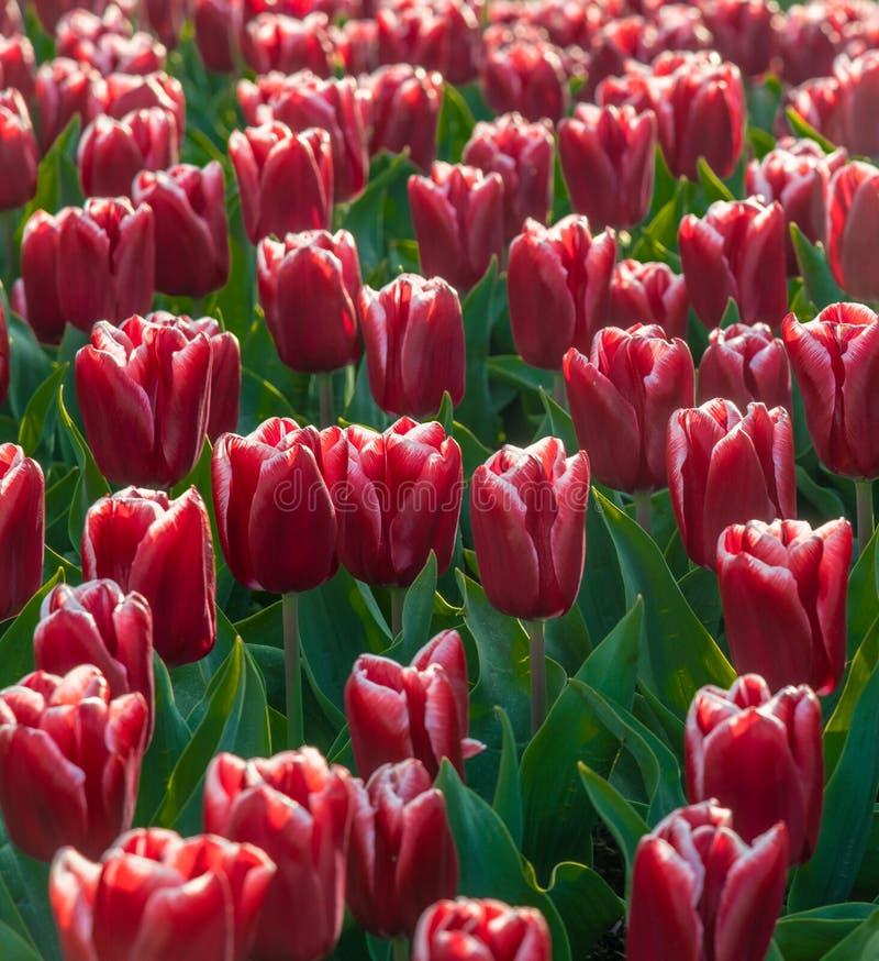 Tulipas vermelhas na flor completa fotografia de stock