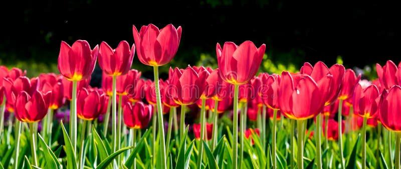 Tulipas vermelhas na mola do fundo e no flowers_ isolados pretos do verão fotografia de stock