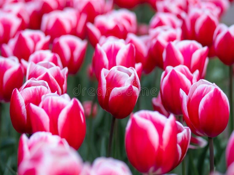 Tulipas vermelhas no jardim botânico de Keukenhof, Holanda foto de stock royalty free