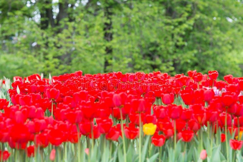 Tulipas vermelhas no parque fotos de stock