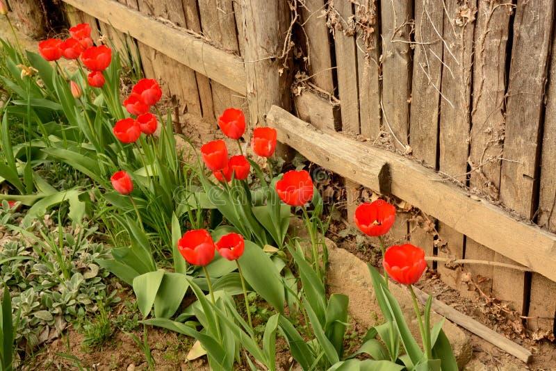 Tulipas vermelhas perto da cerca de madeira foto de stock