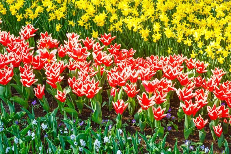 Tulipas vermelho-brancas bonitas e narciso amarelo imagens de stock royalty free