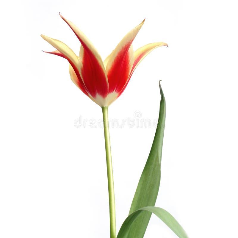 Tulipe 10 photos stock
