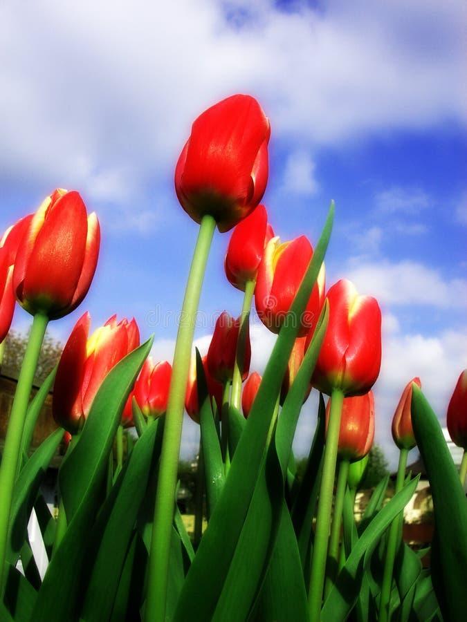 Tulipe 15 image libre de droits