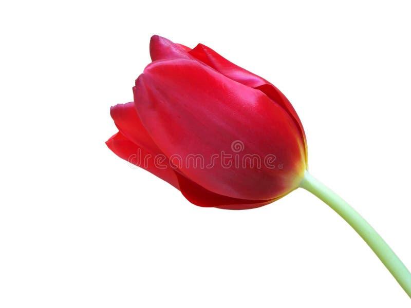 Tulipe photo stock