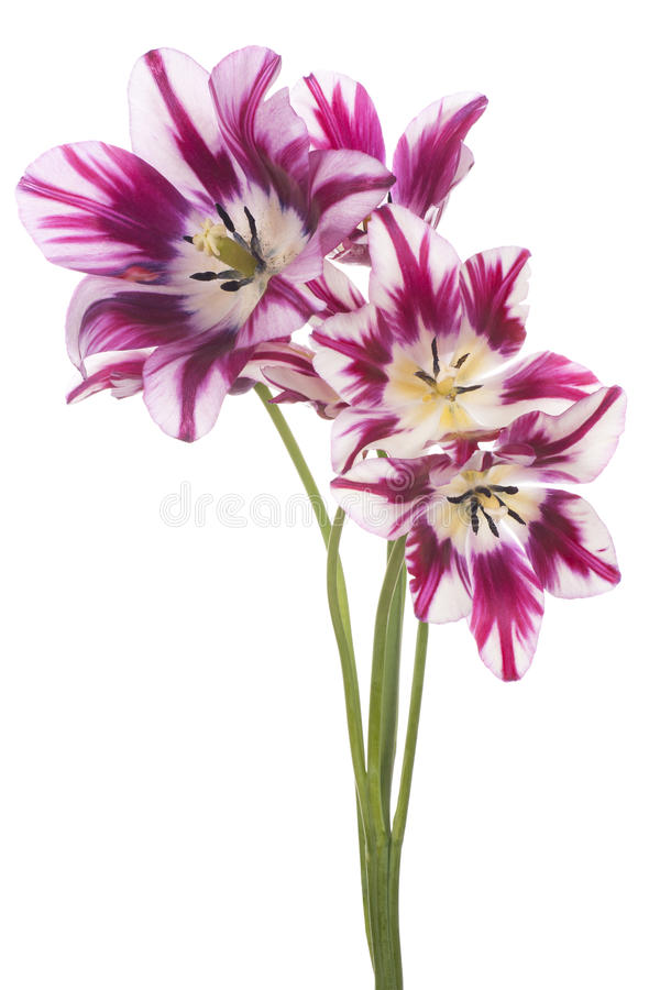 Download Tulipe image stock. Image du conception, amour, copie - 45368565