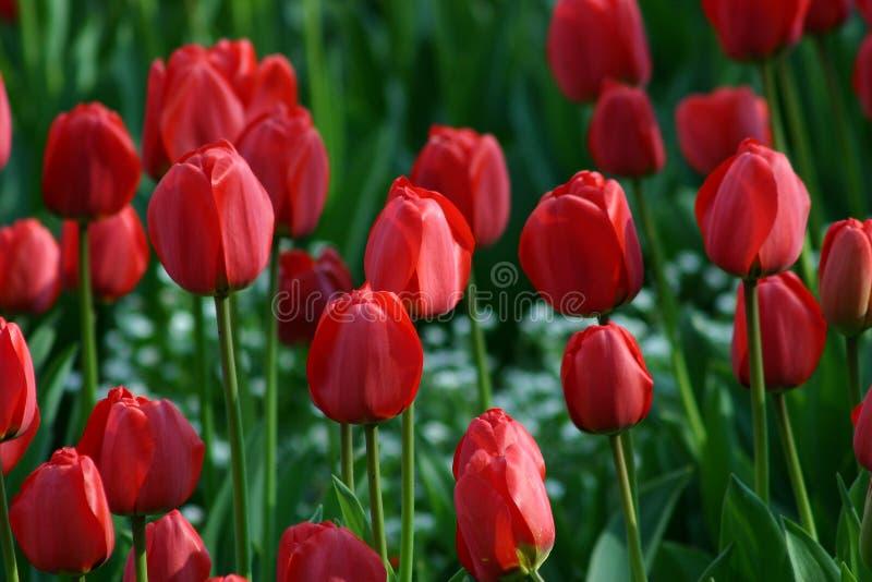 Tulipe photographie stock libre de droits