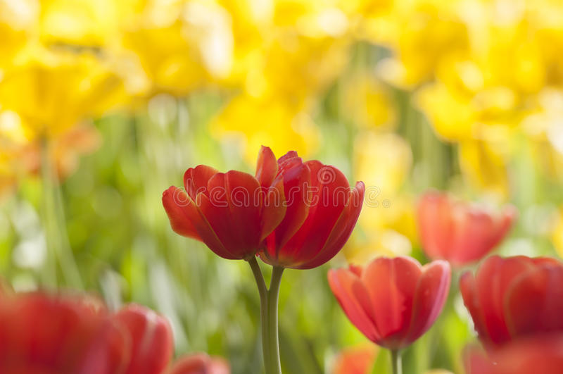 Tulipe images libres de droits