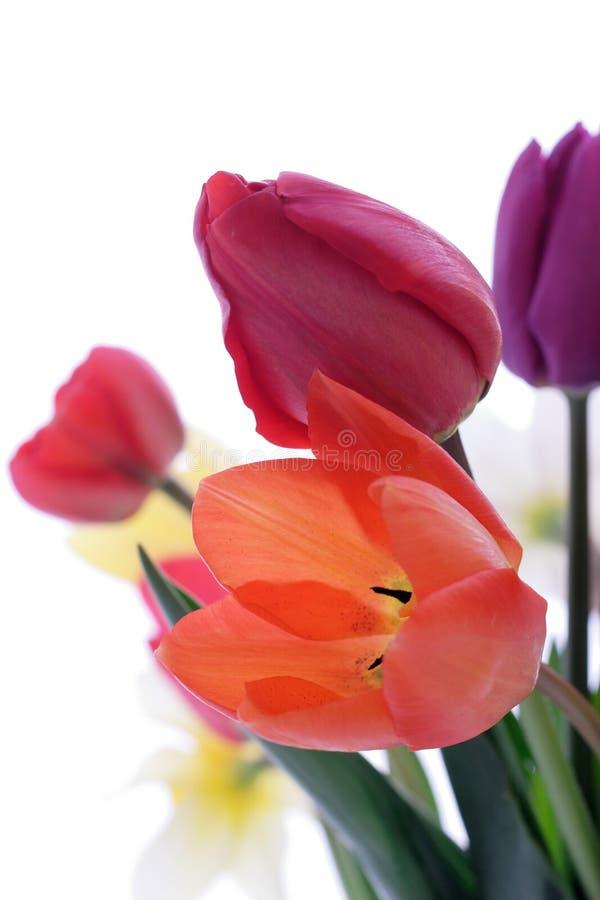 Download Tulipe image stock. Image du couleur, présent, ressort - 725679